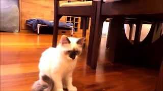 Cat And Staffordshire Bull Terrier  - Playing On The Box (staffbull E Gato Brincando)
