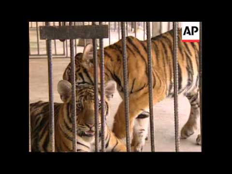 THAILAND: PROPOSALS TO FARM TIGERS FOR CHINESE MEDICINE