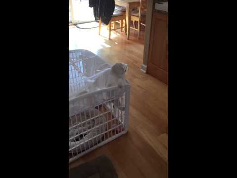 Maltipoo escapes from her playpen