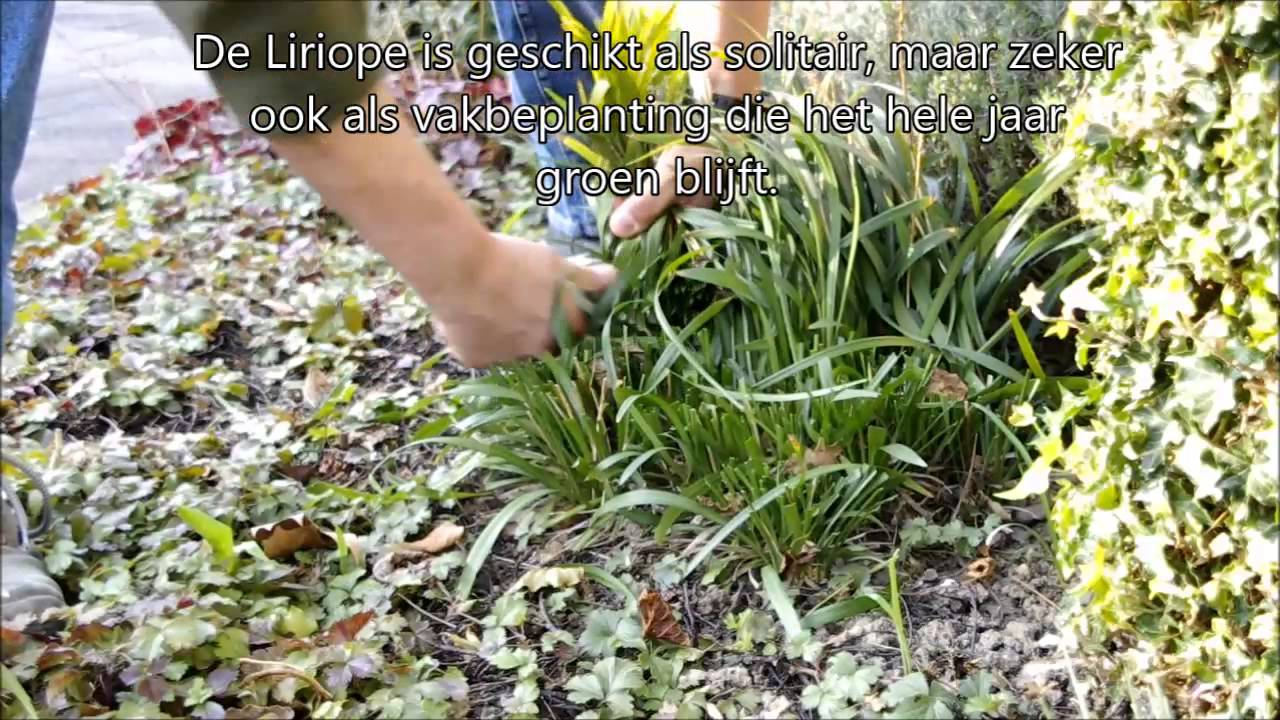 Liriope Muscari Leliegras Snoeien In Het Voorjaar Hoe En Wat