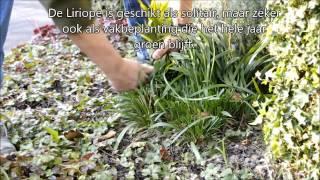 Liriope muscari (Leliegras) snoeien in het voorjaar, hoe en wat
