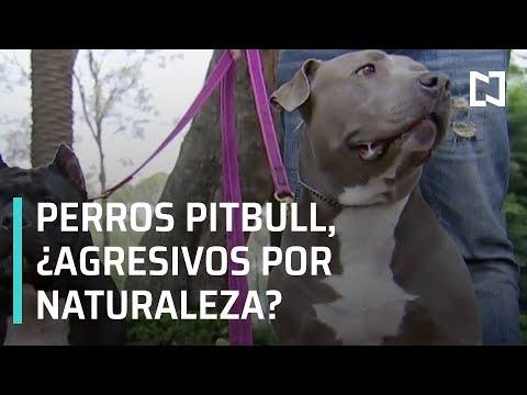 Perros de raza pitbull: ¿son agresivos por naturaleza? - Despierta