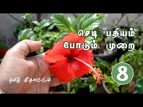 How to Grow Hibiscus from Cuttings in Tamil | Plant Propagation from Stem Cuttings