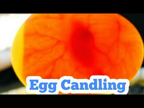 Egg Candling From Day 1 To 21/ Egg Hatching