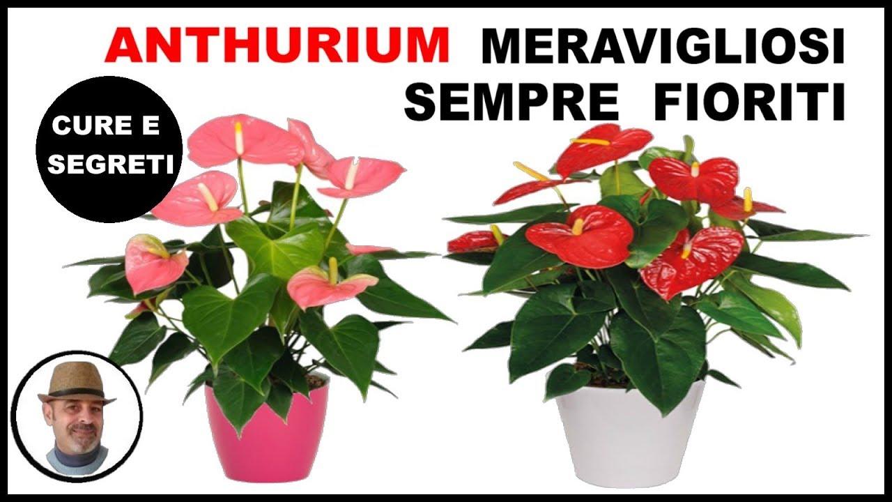 Orchidee Meravigliose Trucchi E Segreti consigli pratici su come coltivare l'anthurium by portale