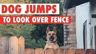 Dog Jumps to Look Over Fence