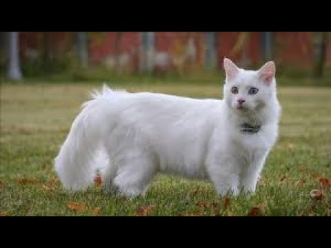 VAN CAT A CAT SPECİFİC TO TURKEY