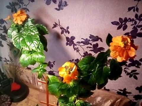 Цветок кроссандра - уход и размножение в домашних условиях