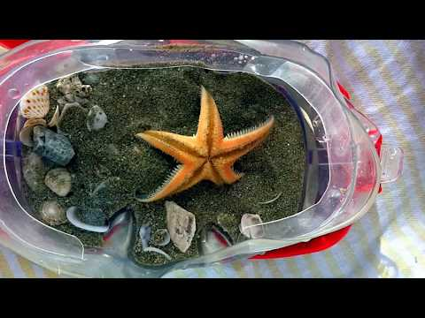 Small Starfish Flips Over