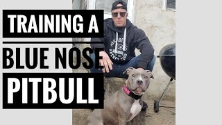 Easy tips for training your blue nose pitbull
