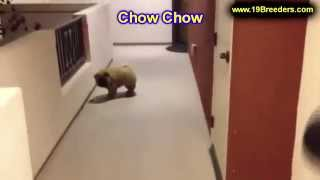 Chow Chow, Puppies, For, Sale, In, Birmingham, Alabama, Al, Montgomery, Tuscaloosa, Jefferson, Shelb