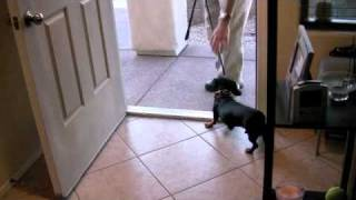 Training A Dachshund To Stop Running Out The Front Door