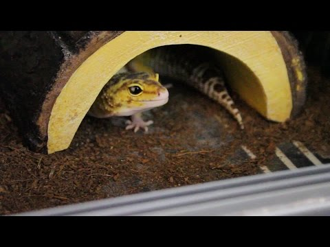 Leopard Gecko Reacts To Waxworms