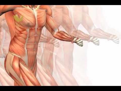 Sistema Músculo Esquelético - YouTube