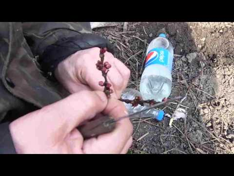 Абрикос в Подмосковье, хитрости посадки, выращивания и ухода