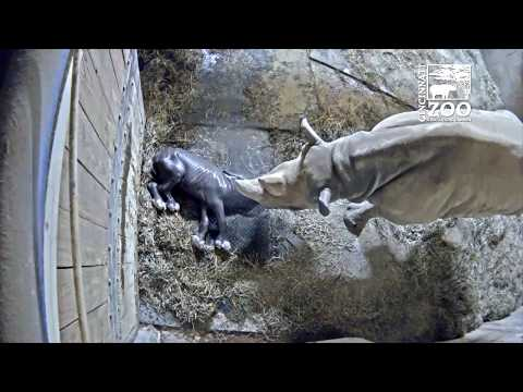 Black Rhino Birth - Cincinnati Zoo