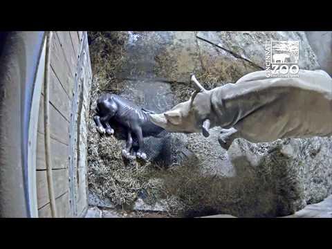 Black Rhino Birth - Cincinnati Zoo