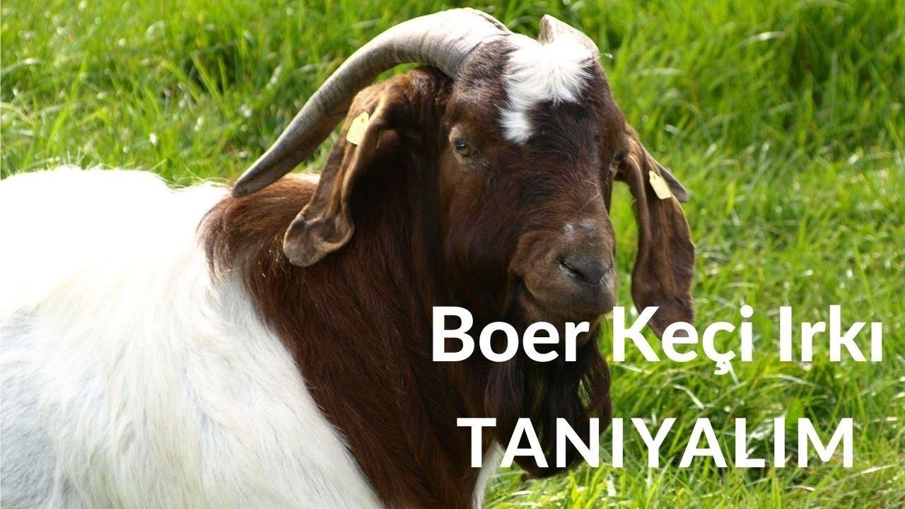 Boer Keçi Irkı