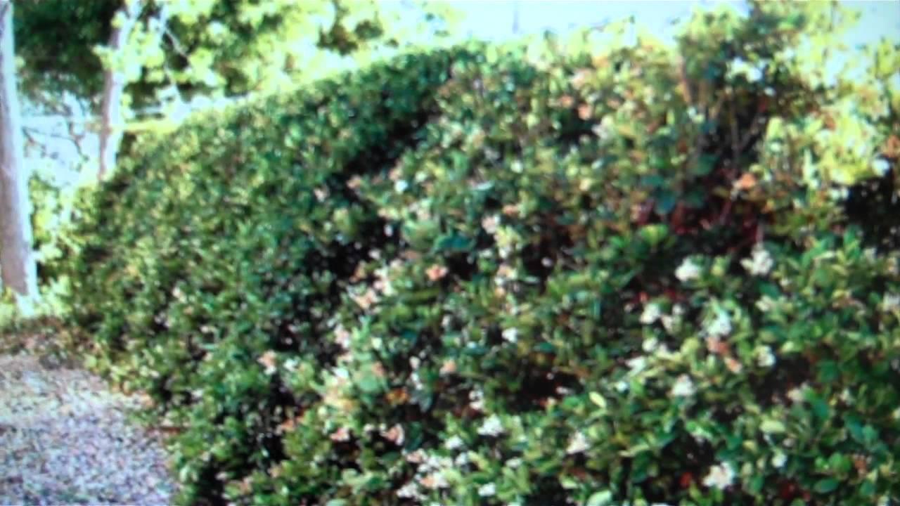 California Privet For Sale Cheap 1 89 At Tn Tree Nursery
