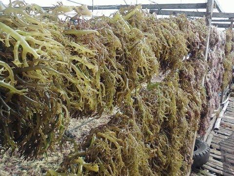 AGAR-AGAR PLANTING (Seaweeds)