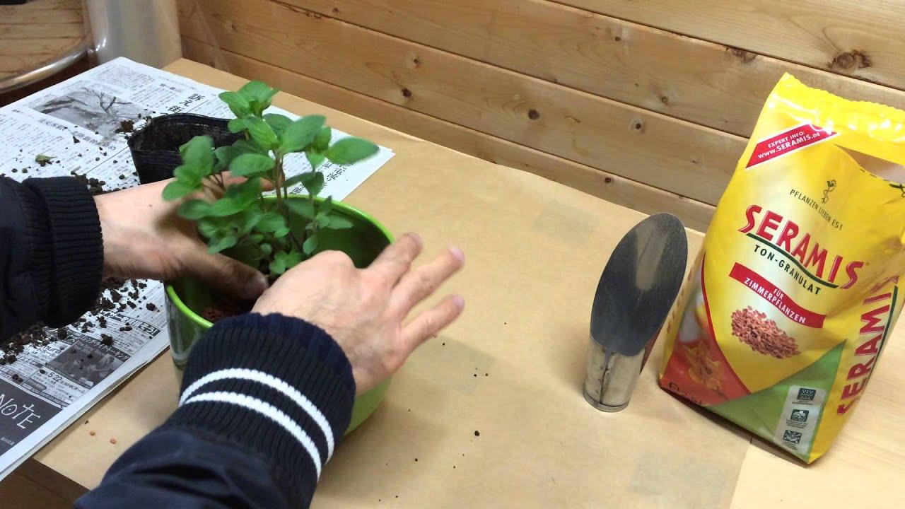 ミントを室内で水耕栽培するための植え替え方法