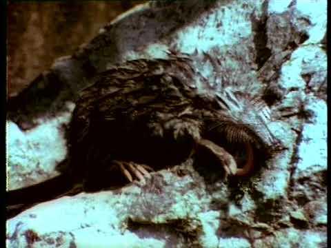 Le Desman des Pyrénées : un rat aussi, ça trompe énormément