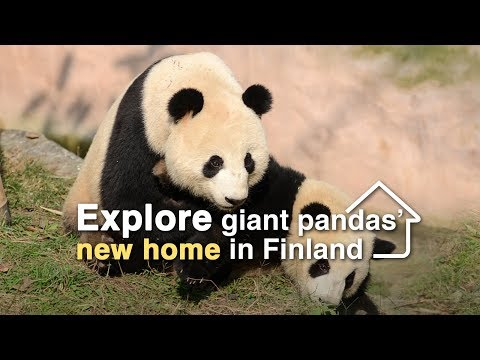 Live: Explore giant pandas' new home in Finland 探访大熊猫芬兰新家