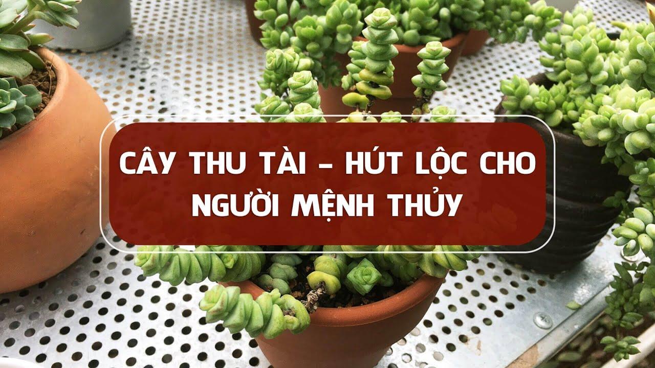 Cây hợp mệnh Thủy, mệnh Thủy trồng cây gì trong nhà, để bàn làm việc để cải vận, đón lộc cả năm?