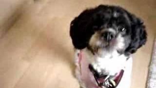 Chanelle - Zuchon (bichon/shi Tzu Mix)