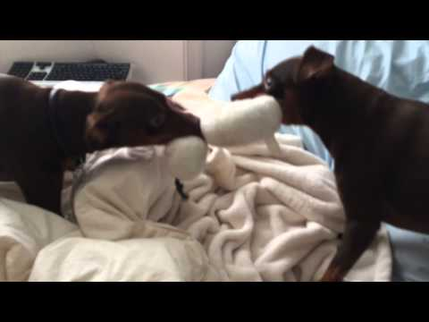 funny dog video min pins fight over sock