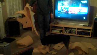 Bruce The Cattle Dog Rips Up A Mattress Pad
