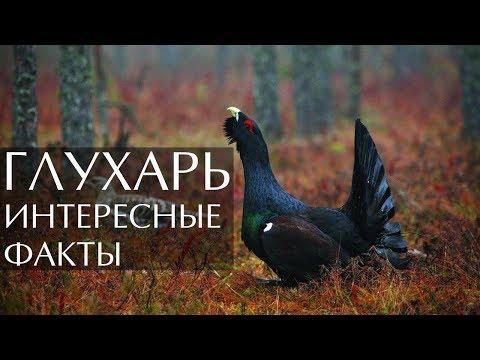 Птица Глухарь интересные факты