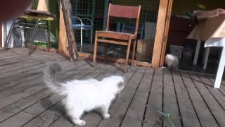 Настоящие невские маскарадные котята!