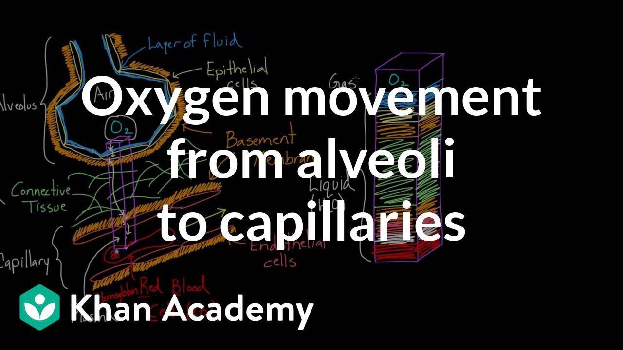 a6536e3455 Oxygen movement from alveoli to capillaries (video) | Khan Academy