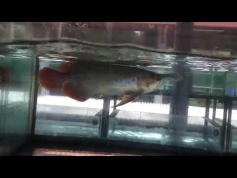 ปลามังกรแดง Super Red Arowana เกรดคัดพิเศษ ^__^