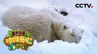 [正大综艺·动物来啦]北极熊哪个部位最怕冷| CCTV