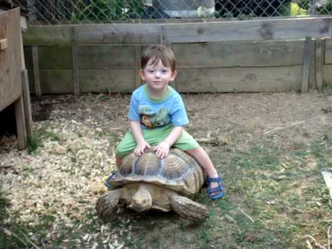 Toddler Riding Sulcata Tortoise Turtle Baby Nic Youtube