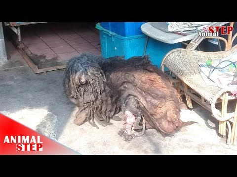 Pitiful Stray Dog with Severely Matted Fur Gets Beautiful Life