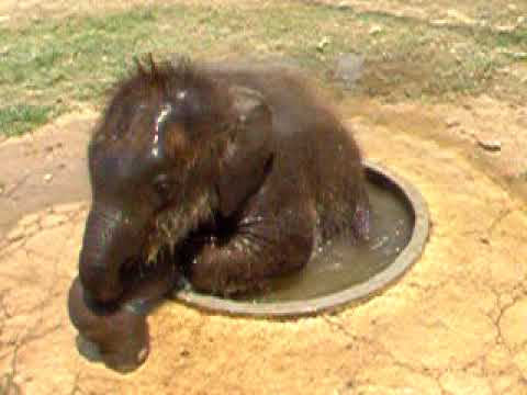 Cute Baby Elephant Plays In a Drinking Basin - YouTube