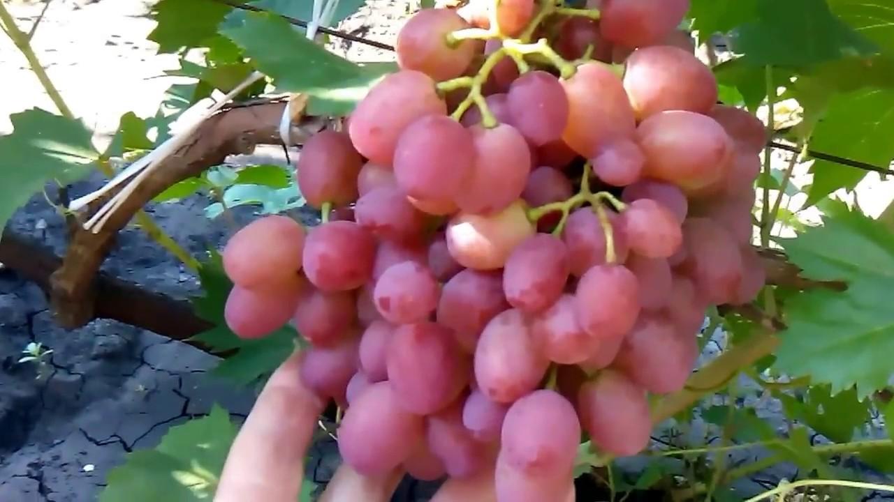 виноград водограй описание сорта фото отзывы