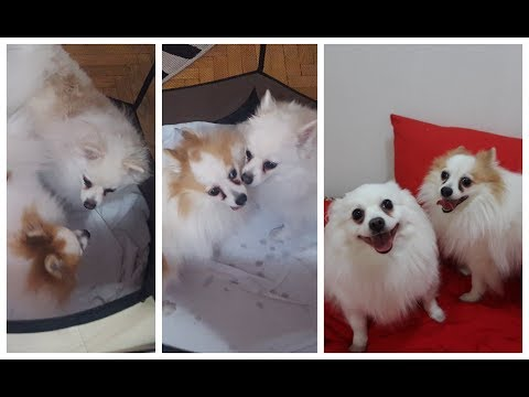 HOW GERMAN SPITZ (Klein) FALLS IN LOVE