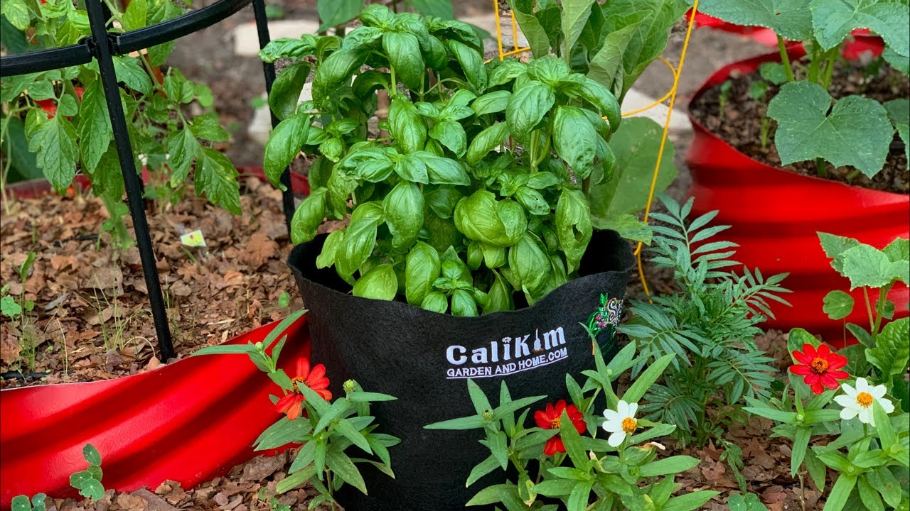 🌱LIVE: How to Grow LOTS of Basil-3 Tips for an Endless Supply, Q & A