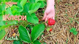 видео клери земляника садовая: характеристики, отзывы, фото, описания сорта