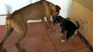 Small cute puppy sooo cute AWWWWW ^w^ lolxD Terrier Affenpinscher A...