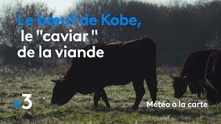 Le bœuf de Kobe, le « caviar » de la viande - Météo à la carte