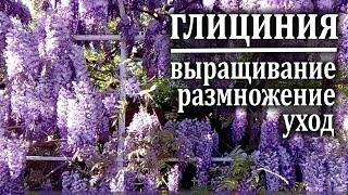 видео Кустарник дейция: посадка и уход, размножение черенками и семенами