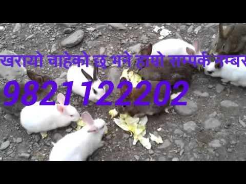 Rabbit farm gorkha nepal