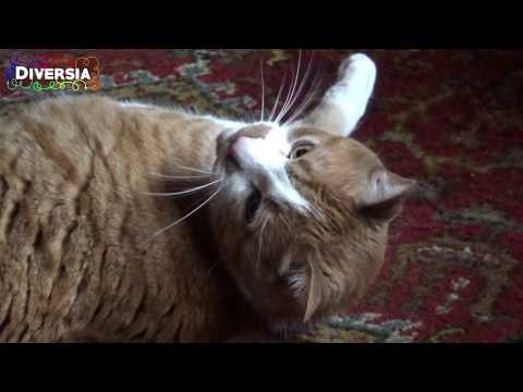 HAPPY GINGER CAT DOING FUNNY TRICKS & PLAYING WITH HIS FAVORITE TOYS