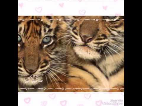 Стихи про тигра, тигров
