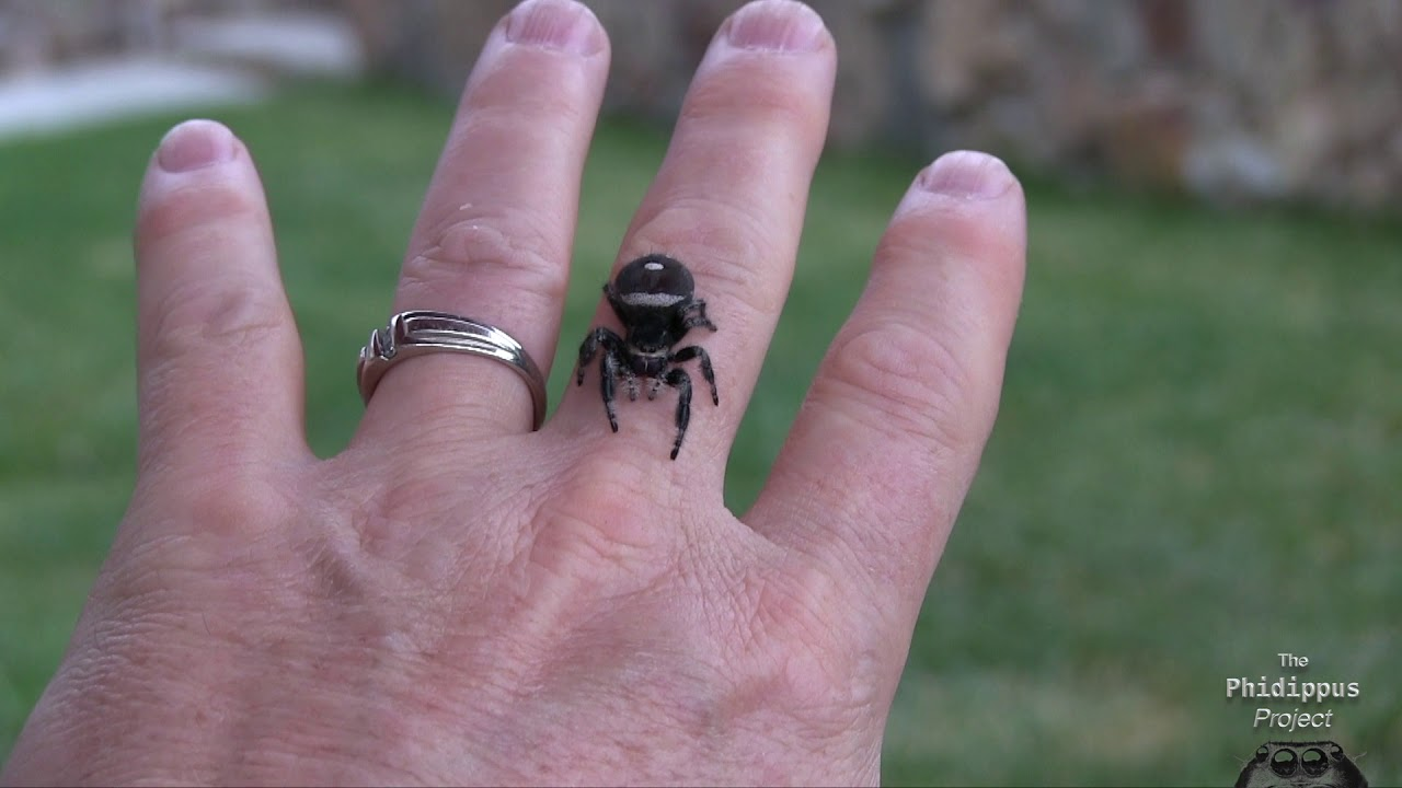 Nexi the Cute Jumping Spider July 2019